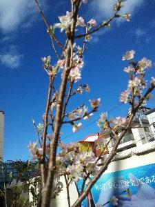 早めの桜1