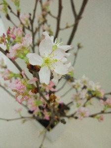 桜挿し木1