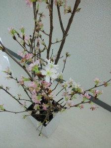 桜挿し木2