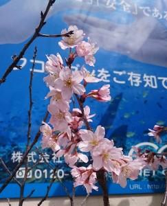 フコイダン店舗前の桜