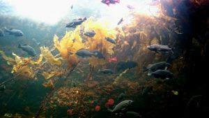 フコイダンが豊富に含まれる褐藻類