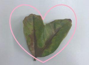 ハートの形をしたキンモクセイの葉