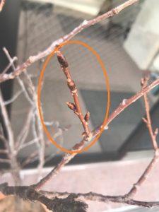 ツボミを膨らませるコムネットの桜