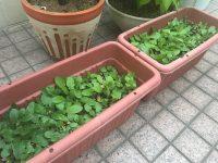 草が生い茂るペチュニア